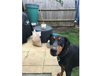Male Doberman pair looking for forever home