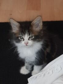 Beautiful 8 week kitten: Maine Coon cross, included are all her necessities