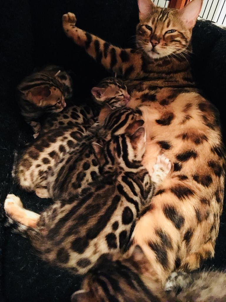 Bengal Kittens to reserve now!