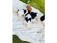 Precious jack russle puppys ready from Monday