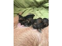 Red grizzle Border terrier pups for sale, Mossblown ayrshire.