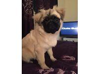 Beautiful Kc registered fluffy pug boy