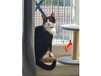 Black & White Mix Shorthair Male Kitten 9months