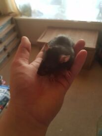 Young male rats for sale