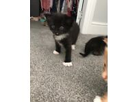 4 x kittens for sale - ready 14th August! Black & white boy and torti girl still available