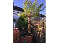 X large WILLOW TREE, unique - £85
