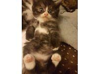 kittens mixed British Shorthair BSH