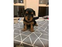 Yorkie / Yorkshire terrier puppies