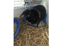 Dwarf lop earred rabbit