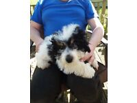READY NOW - Beautiful Jackapoo Puppy