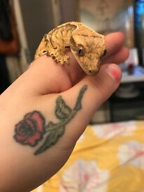Crested gecko and tank