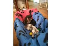 Tabby kitten 9 weeks old