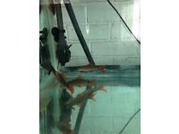 Tropical Fish Rainbow /Ruby/Red Tail Sharks Tiger barbs