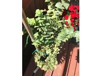succulents (CASSULA PERFORATA GIANT) just under 2ft tall inc pot
