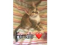 Half Bengal kitten (Female)🙂 8 weeks💕