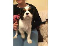 Full pedigree, kennel club registered cavalier King Charles tri pups
