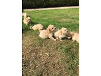 Miniature poodle x cockapoo pups
