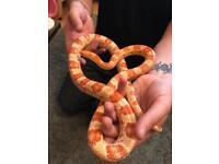 Amelanistic corn snake and vivarium