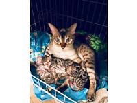 Active Registered Bengal kittens