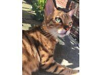 Missing Female bengal cat
