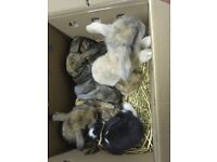 Giant French lop rabbits