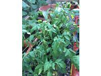 Brandywines tomato plants