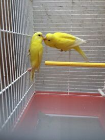 Beautiful Best Quality baby Budgies, 3 new unused cage for extra cost