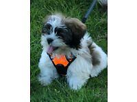 Puppy Shih Tzu for sale