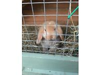 Mini lop Boy bunny rabbit and hutch 8 weeks old