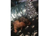 Stunning mini dachshund pups