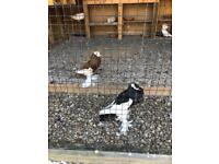 Wide variety of pigeons for sale! Many breeds