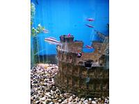 DWARF KRIBENSIS CICHLID TROPICAL FISH ALBINO PARENTS 2CM 3CM BLACK STRIPE