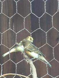 Pair of canary's