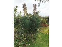 Very Large Yucca Aloifolia in Flower 6ft tall
