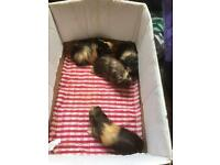 Baby Male Guinea Pigs for sale. ONLY 2 LEFT
