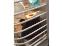 Oreo, Siberian Hamster