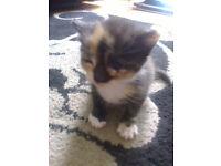 Lovely Fluffy Kitten For Sale