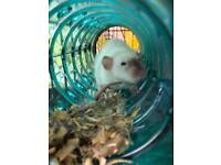 Rats babies for sale!