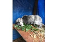 For sale Male rabbit