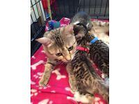 bengal cross kittens 1 boy left