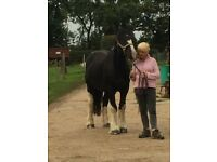 One in a Million 15.3hh Irish Cob Gelding for Sale