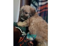 Lhasa apso cross toy poodle puppies