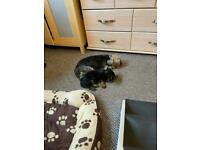 Mini Yorkshire terriers