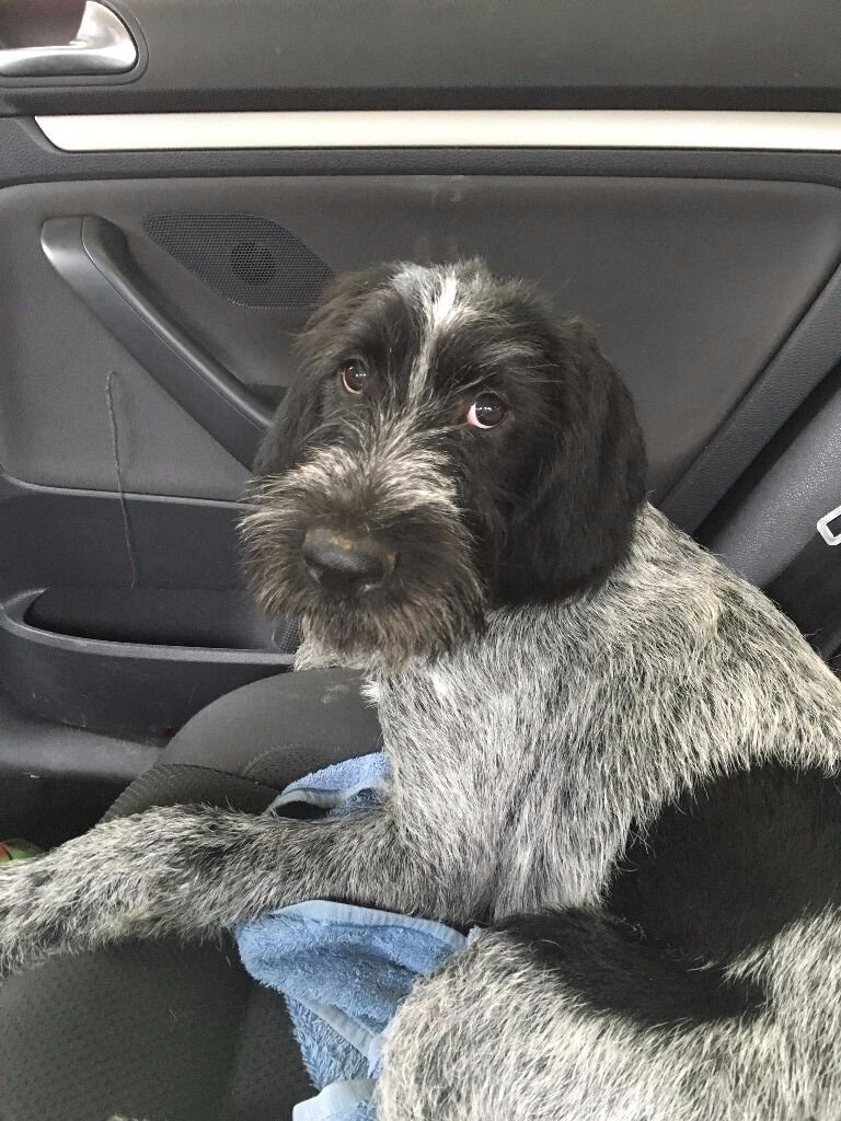 German Wirehaired Pointer - 6 months old | in Crowborough, East ...