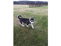 KC reg Siberian Husky Puppy