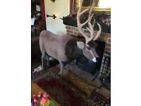 Lifesize huge reindeer display piece cost nearly £1000