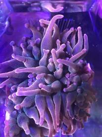Rose bubble tip anemones/ marine coral
