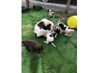 Sprocker spaniel Puppies for sale
