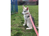 Huskamute Puppy For Sale