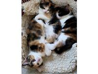 Tortoishell kittens, three little girls. Ready now